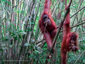 Orangutan Penerima Tamu