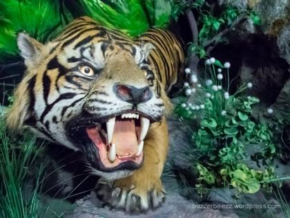 Tatapan marah Harimau Sumatera