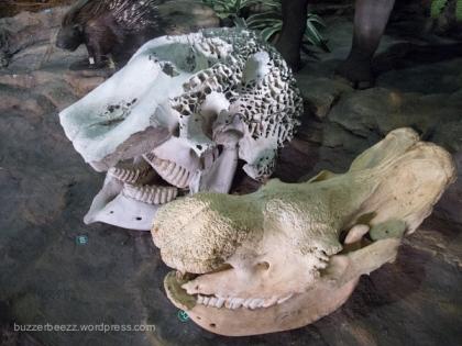 Ternyata tengkorak gajah dan badak sama besar ya..